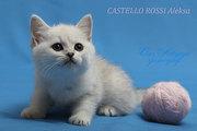 Британские, шотландские котята. Питомник кошек Castello Rossi