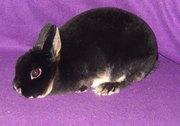 Декоративные кролики различных пород и окрасов.