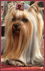 Стрижка собак в Херсоне,  йоркширских терьеров,  пуделей.шит-цу, мальтезо