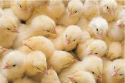 Качественные суточные цыплята  бройлера РОСС-308 Польща