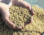 продам семена сои,  ранний сорт стойкий к Раундапу