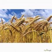 Куплю пшеницу 2 кл. ДП