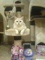 Котята британской серебристой шиншилы-ваша радость и уют в доме