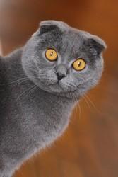 Шотландский вислоухий котик на разведение