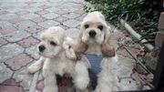 Продаются элитные щенки Американского кокер - спаниеля