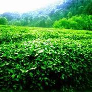 Продаем чай,   зеленый чай,  черный чай,  китайский чай